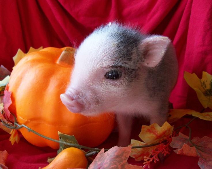 かぼちゃと豚の赤ちゃん