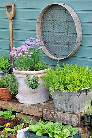 COLLECTION_OF_POTS_AND_CONTAINERS_WITH_HERBS_AND_SALAD_LEAVES_OUTSIDE_THE_POTTING_SHED