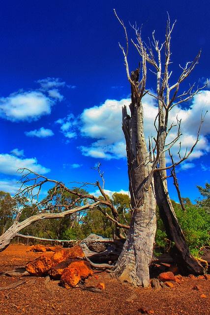 An old tree in Cahunu Park, Perth Australia ... by eurodrifter, via Flickr