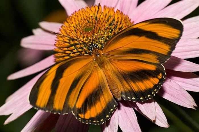 """MariposasLa razón por la que esta mariposa es conocida como """"Tigre naranja"""" es bastante evidente. Esta especie habita las zonas de Brasil, Méjico y América Central, y juega un rol crucial en el ecosistema como principal polinizador."""