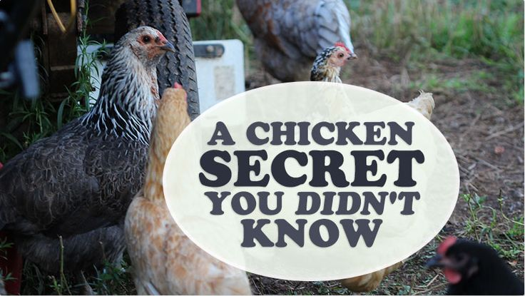 a chicken secret you didn't know- 6 things you don't need fir your chickens