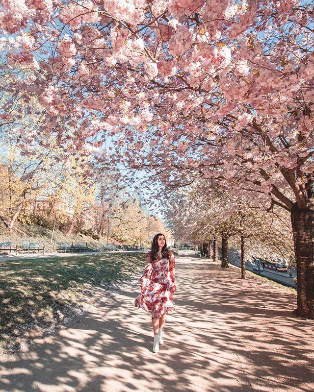 Gorgeous Blooms In Prague Czech Republic Prague Cherryblossom
