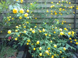 Kerria, Japanese Rose, Thornless Rose, or the Yellow Rose of Texas
