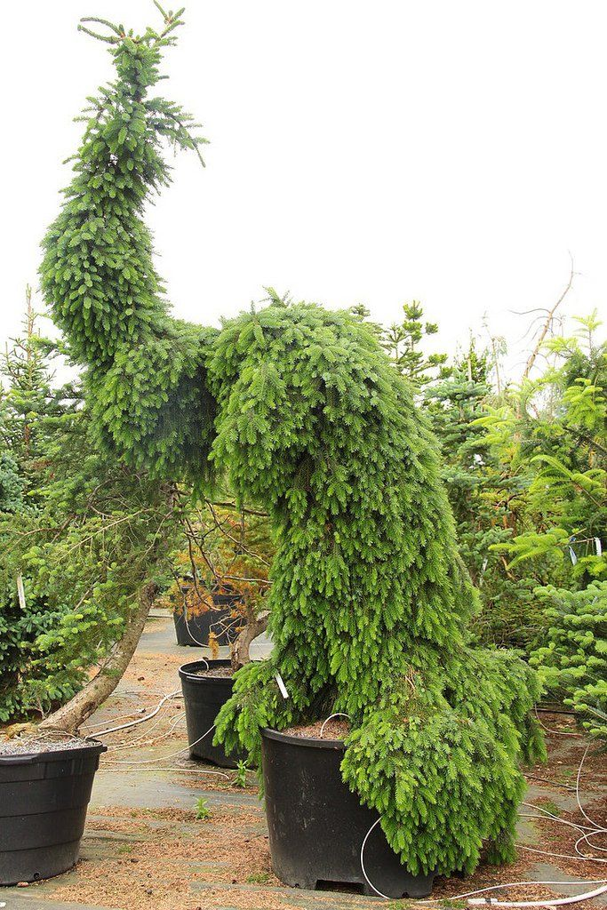 Picea omorika 'Pendula Bruns'