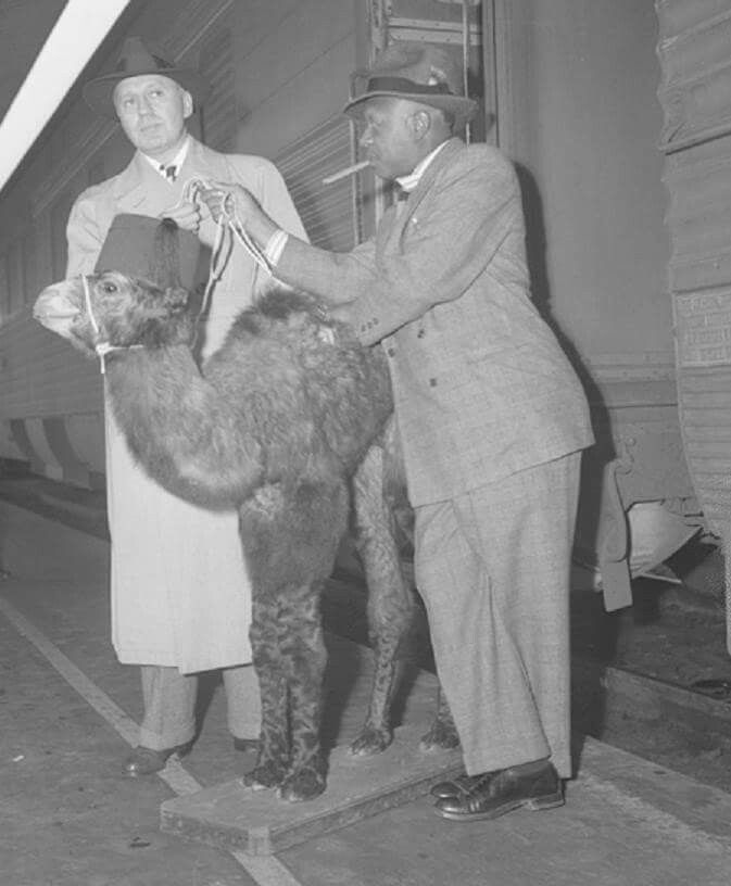 FRED ALLEN' OLD TIME RADIO HOME: Jack Benny and Eddie Anderson disembark from a train in Los Angeles in 1943 with a camel.   Los Angeles Daily News