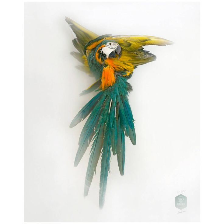 Numbered 7/7 and Signed 'Blue/Yellow Macaw' Art Print by Sinke & van Tongeren   From a unique collection of antique and modern photography at https://www.1stdibs.com/furniture/wall-decorations/photography/