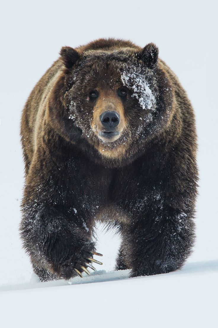 Iconic Grizzly Bear to Become More Vulnerable | Earthjustice
