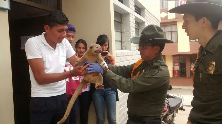 """""""Reconcíliate con la naturaleza"""" es la campaña realizada por el grupo de carabineros y guías caninos de #Nariño. Gracias a las personas que entregaron voluntariamente los animales silvestres que tenían como mascotas. #Amor #ProtecciónAmbiental"""