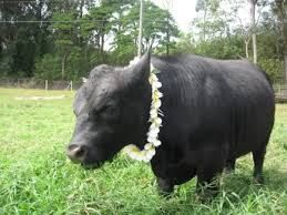 Hawaii Lowline Cattle Is Animal Welfare Approved -West Hawaii Today - http://www.hawaiiecoliving.com/hawaii-lowline-cattle-is-animal-welfare-approved-west-hawaii-today/