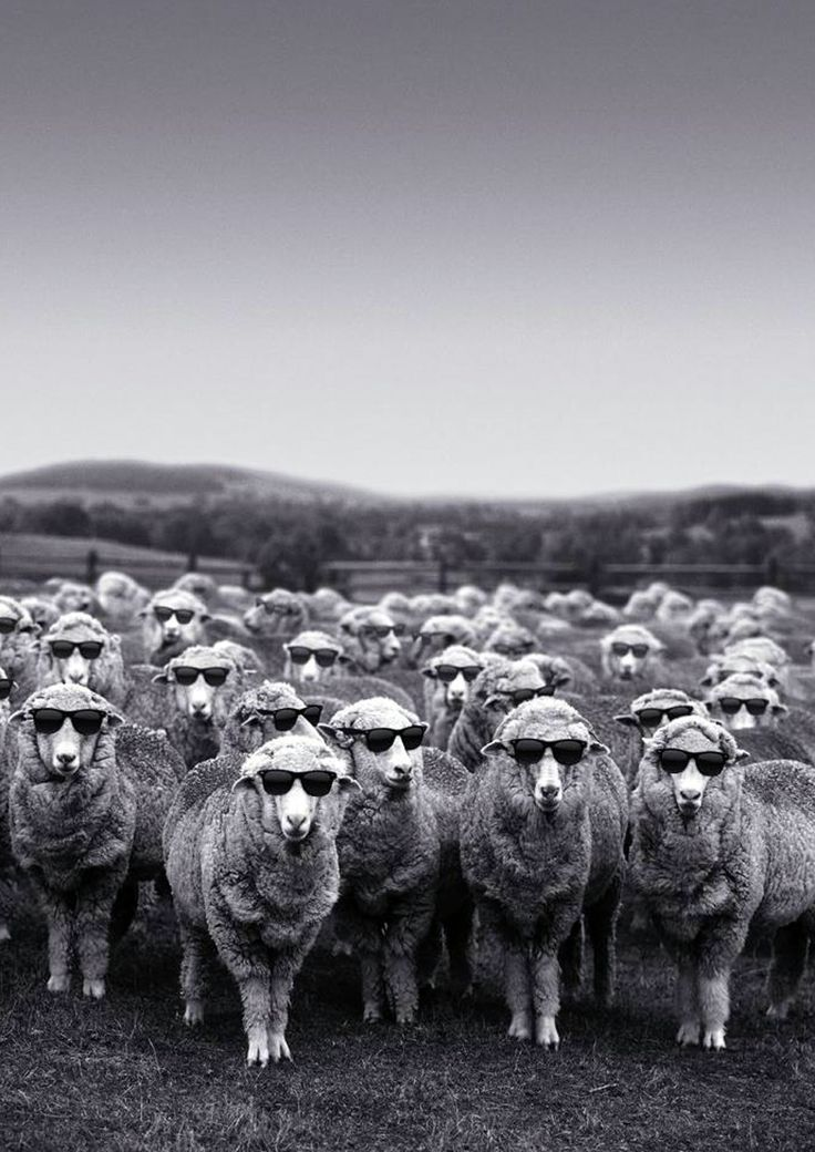 too cool for you sheep