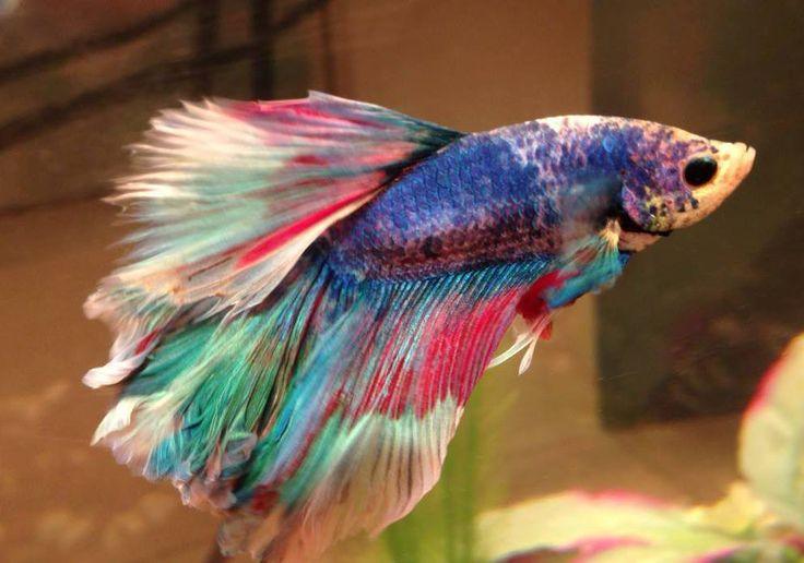 Best 25 betta fish ideas on pinterest betta types of for Pretty betta fish