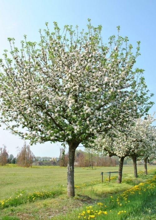 Malus domestica #flowering #tree #trees www.vdberk.co.uk