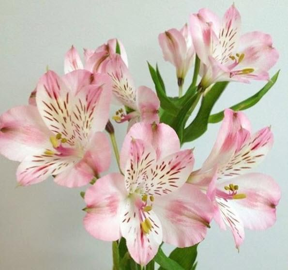 Light Pink Alstroemeria Flowerdefault Title Pink Wedding Flowers Orange Wedding Flowers Light Pink Flowers