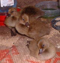 Great resource for backyard ducks