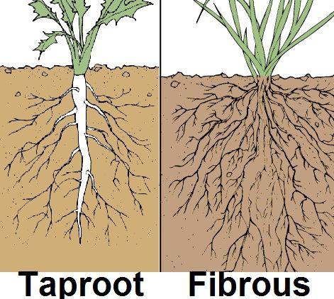 #Taproot vs #Fibrous root plants - Žiličast vs osovinski korenski sistem