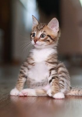 """""""A kitten is the delight of a household.  All day long a comedy is played out by an incomparable actor."""" --Jules Champfleury"""