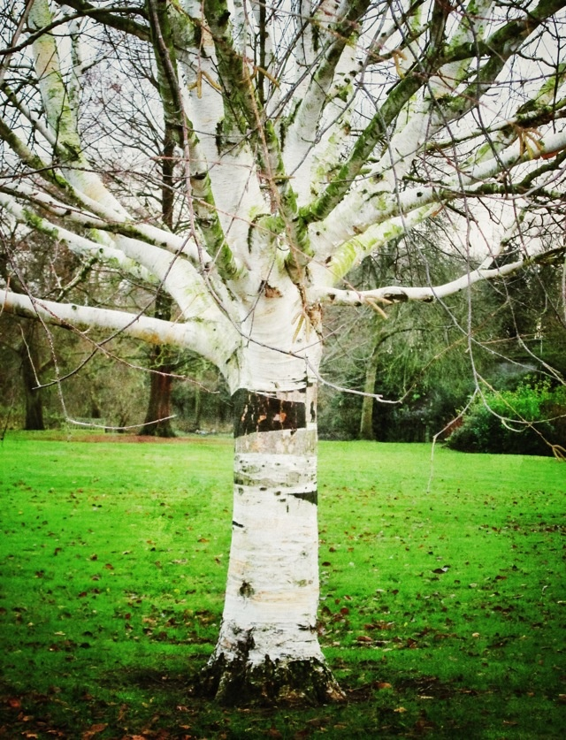 Beautiful Silver Birch Tree in St Nicholas Park, Warwick Dec 2012  Ghost Tree