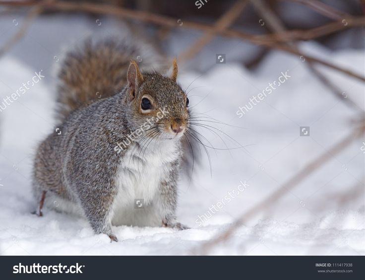 Eastern Gray Squirrel / Grey Squirrel / Sciurus Carolinensis ...