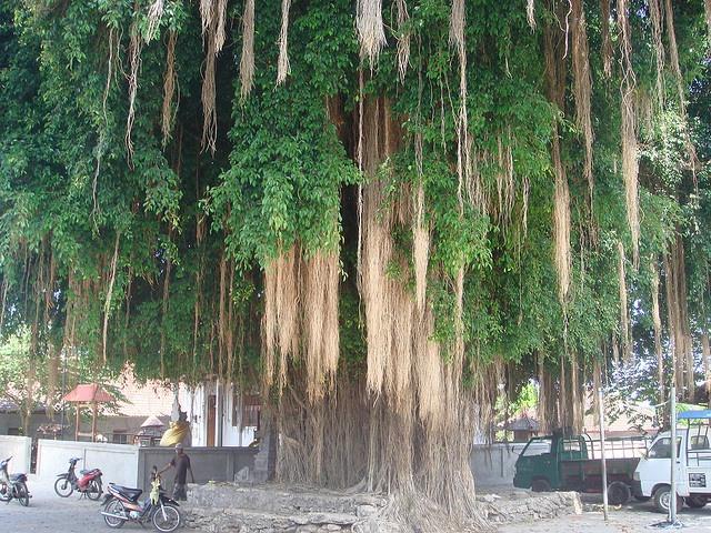 sacred tree Bali