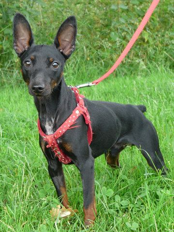 alien doberman   Joxy : chien croisé pinscher à adopter dans la région Pays de la ...