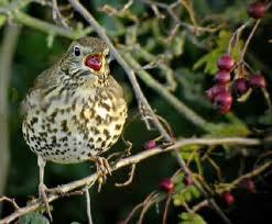 vogels in de tuin: lijster