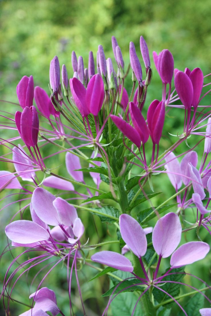 59 best purple cleome images on pinterest | plants, flowers and