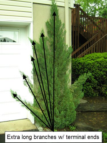 How to prune upright junipers   Landscaping Ideas for ...