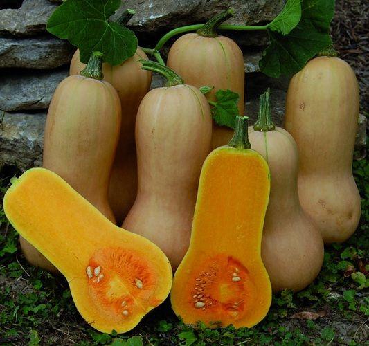 Cara Budidaya Labu Madu (Butternut Squash) - http://bibitbunga.com/blog/cara-budidaya-labu-madu-butternut-squash/