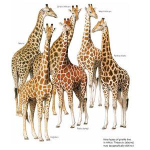 List of giraffe (sub)species and population: Angolan (G. c. angolensis)             < 20,000 Kordofan (G. c. antiquorum)           < 3,000 Masai (G. c. tippelschirchi)             < 37,000 Nubian (G. c. camelopardalis)        < 650 Reticulated (G. c. reticulata)           < 4,700 Rothschild's  (G. c. rothschildi)        < 1,100 South African (G. c. giraffa)            < 12,000 Thornicroft's (G c. thornicrofti)        < 1,000 West African (G. c. peralta)            < 300
