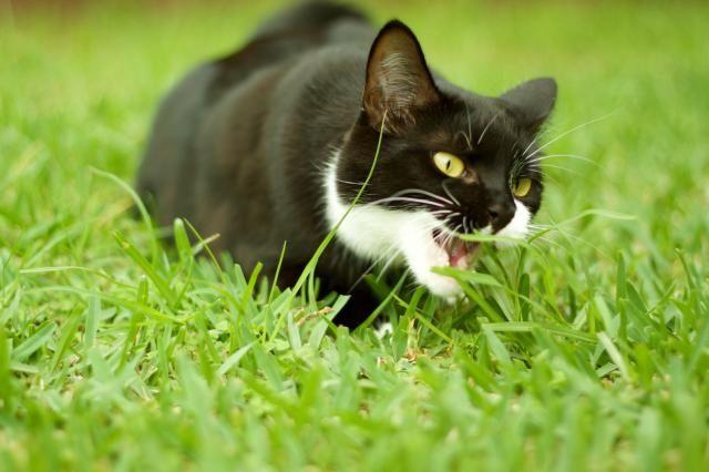 can cats eat guacamole