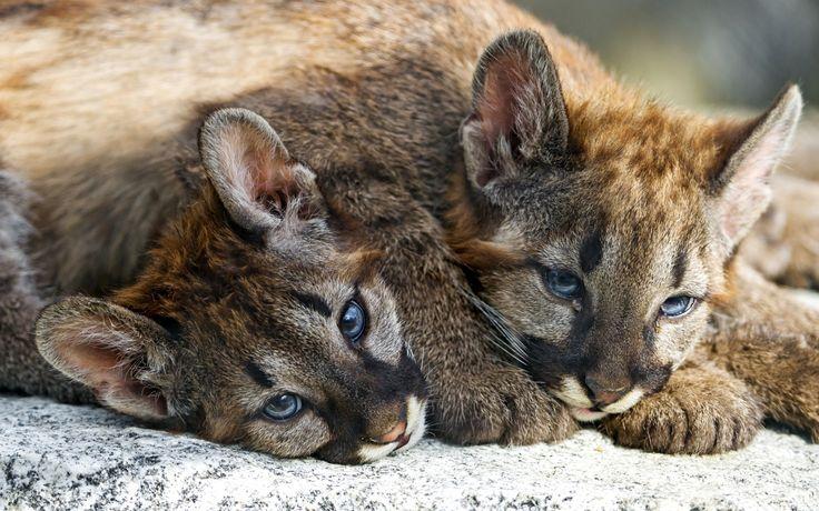 Скачать обои мордочки, малыши, братья, кугуар, пума, раздел кошки в разрешении 2400x1401