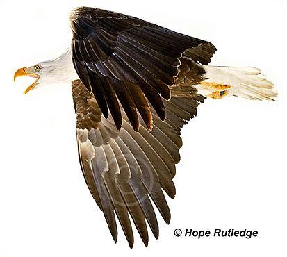 bald eagle fact sheet