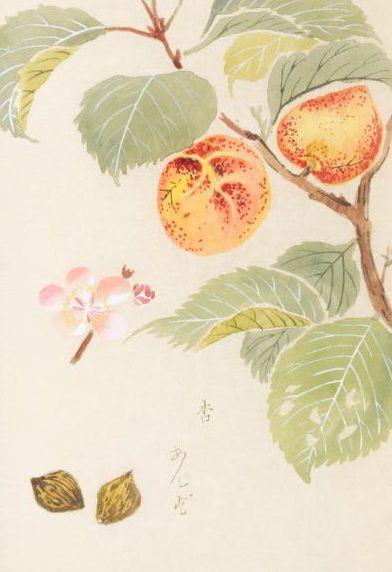 杏(アンズ、アプリコット)バラ科 Prunus armeniaca L. (apricot)  本草図譜 岩崎灌園, Honzo-Zufu, KanEn Iwasaki (1830)