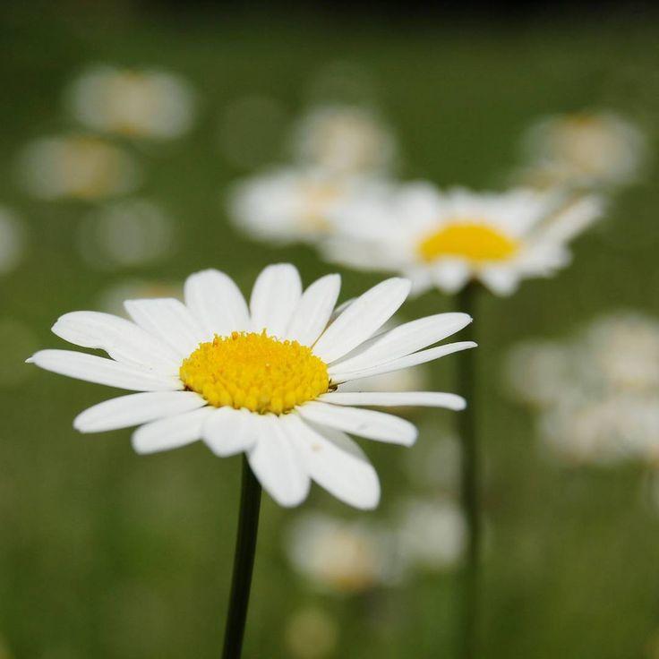 YoYo atelier | Hello March!  #hellomarch #goodbyefebruary #march #springiscoming #daisy #flowers #field #country #nature #photography #nofilter #pickoftheday . #marzo #margherita #fiori #campo #campagna #natura #fotografia #senzafiltri
