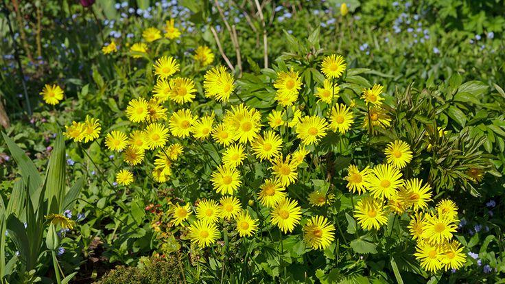 Gemswurz (Doronicum orientale)