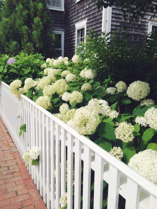 White hydrangeas against a cedar shake house via Hummingbird Cottage
