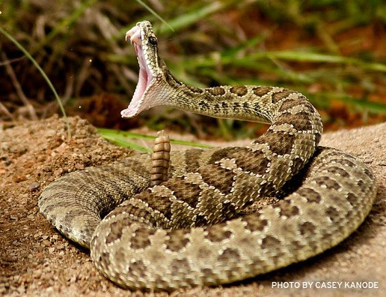 Rattlesnake Bite…  Do's & Don'ts if you are bit by a rattlesnake. Did you know that you should not use a snake bite extractor pump?