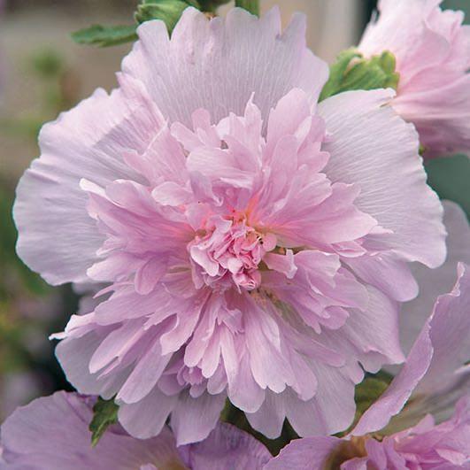 Spring Celebrities Lilac hollyhock