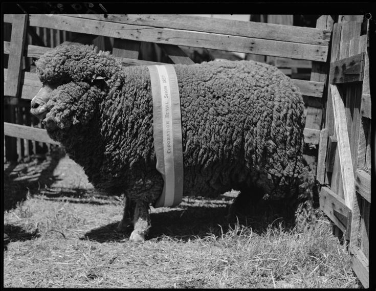 015804PD: Ewe at Perth Royal Show, 1937.  http://encore.slwa.wa.gov.au/iii/encore/record/C__Rb2393901__S015804PD__Orightresult__U__X3?lang=eng&suite=def