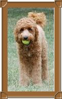 Multigen Mini Medium Goldendoodles page 5