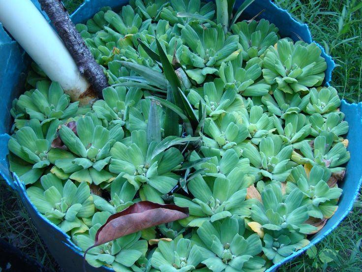 La planta acuática que crea mantos verdes de impresionante belleza