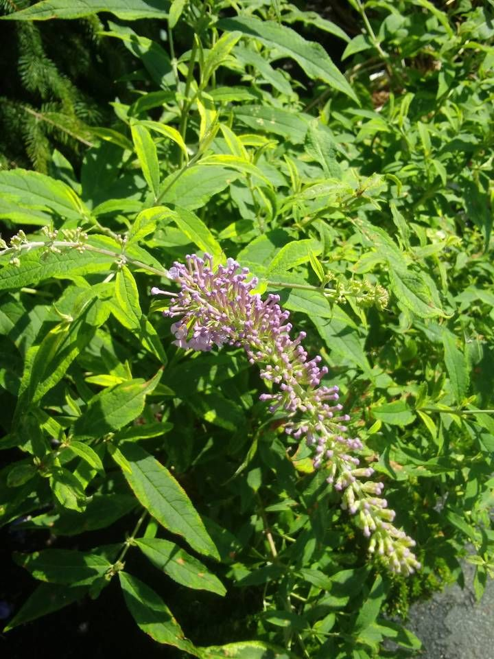 Butterfly Bush Planting Tips On Caring For Butterfly Bushes Butterfly Bush Care Butterfly Bush Garden Care