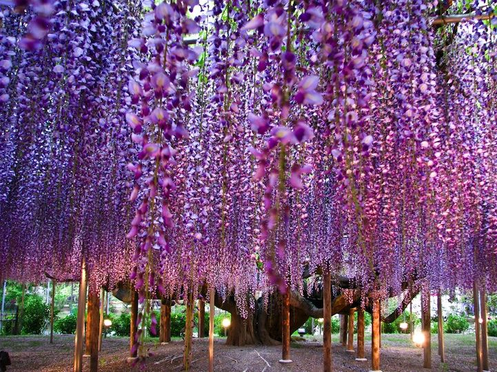 The Most Beautiful Wisteria Tree in the World Ashikaga Park, Japan
