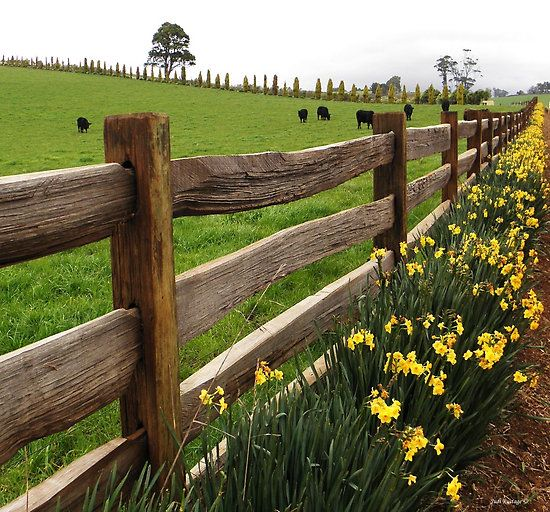 I would love to play up the colors of our farm with a border of daffodil and yellow irises