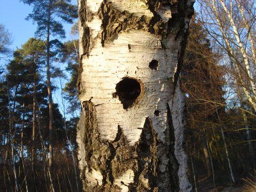 Detail berkenboom