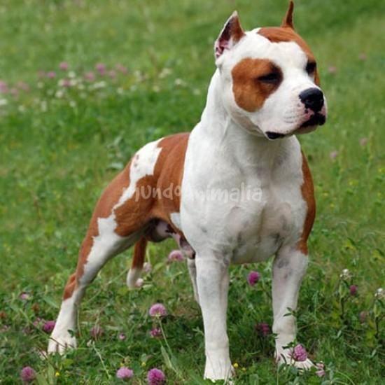 American Staffordshire Terrier | mundoAnimalia.com