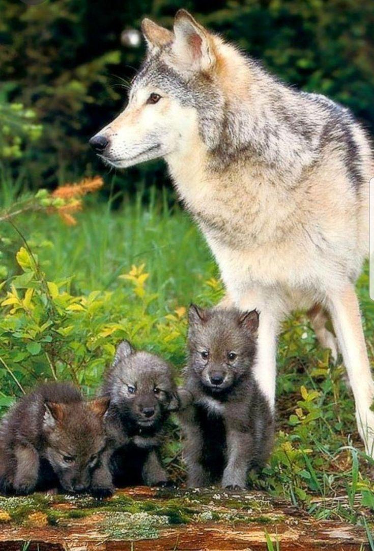 своём крестовом картинки волк и волчонок аренду склад