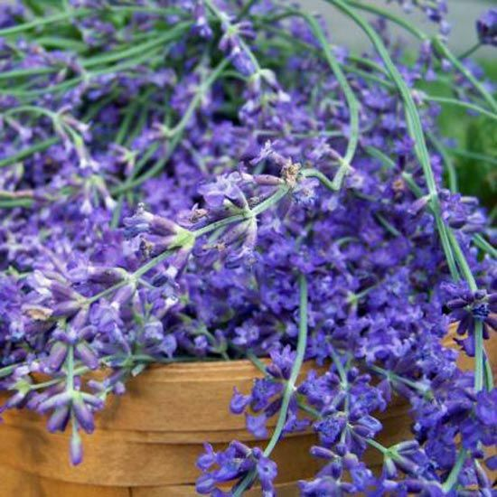 Growing Lavender From Seed - Iron Oak Farm Blog - GRIT Magazine
