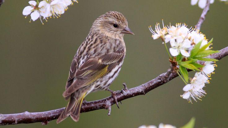 Pine Siskin. Photo © dfaulder / Flickr through a Creative Commons license