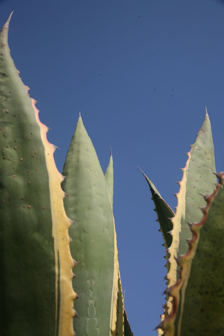 #Agave Americana #Athanatos strives under the #Greek #sun in #Yakinthos Residence
